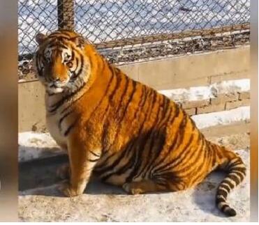 不过说实话,平常看小老虎有些可怕,但是吃胖了反而觉着变得可爱了呢.