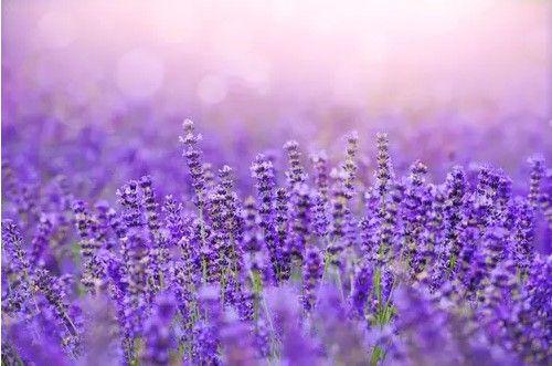 紫色春季风景图片