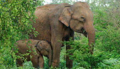 """世界动物保护协会:保护大象还需补齐""""短板"""""""